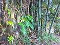 Kalakai yang tumbuh di Bambu - panoramio.jpg