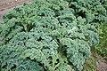Kale (6025692440).jpg