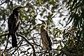 Kerang Ibis Rookery Darter Bird and hatchling.jpg