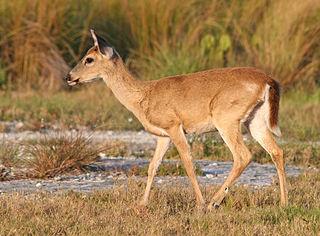 Key deer subspecies of mammal