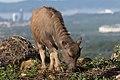 KgKokol Sabah Young Water-Buffalo-01.jpg