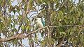 Kingfisher in Sundarbans.JPG