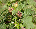 Kitaibela vitifolia - Fruit.jpg