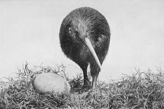 Kiwi and egg Picturesque New Zealand 1913