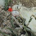 Kleinia gregorii-IMG 7060.jpg