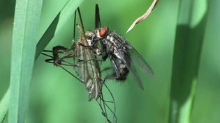 File:Kleptoparasitism video - Fly feeding on captured prey of a spider 2011.ogv