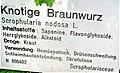 Knotige Braunwurz - board.jpg