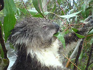Mount Macedon, Victoria - A wild Koala on the edge of the carpark atop Mt Macedon.
