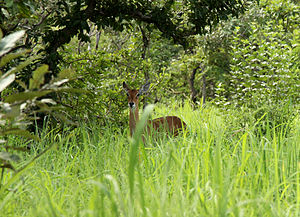 Kainji Lake - Kob antelope in the National Park