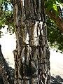 Kolkwitzia amabilis.JPG