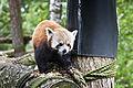 Kolmårdens Djurpark. Röd Panda (1).jpg
