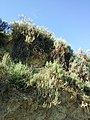 Krascheninnikovia ceratoides sl64.jpg