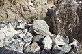 Kreide zwischen Steinen an der Steilküste Sassnitz 2.jpg