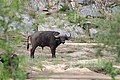 Kruger Park, Buffalo - panoramio.jpg