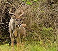 Kudu, iSimangaliso Wetland Park.jpg
