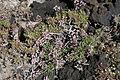 La Palma - Villa de Mazo - La Salemera - Lugar Playa La Salemera - Limonium pectinatum 03 ies.jpg