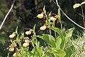 Lady's-Slipper Orchid - Cypripedium calceolus (14041431140).jpg