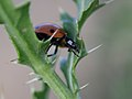 Ladybeetle 7pkt (8743366571).jpg