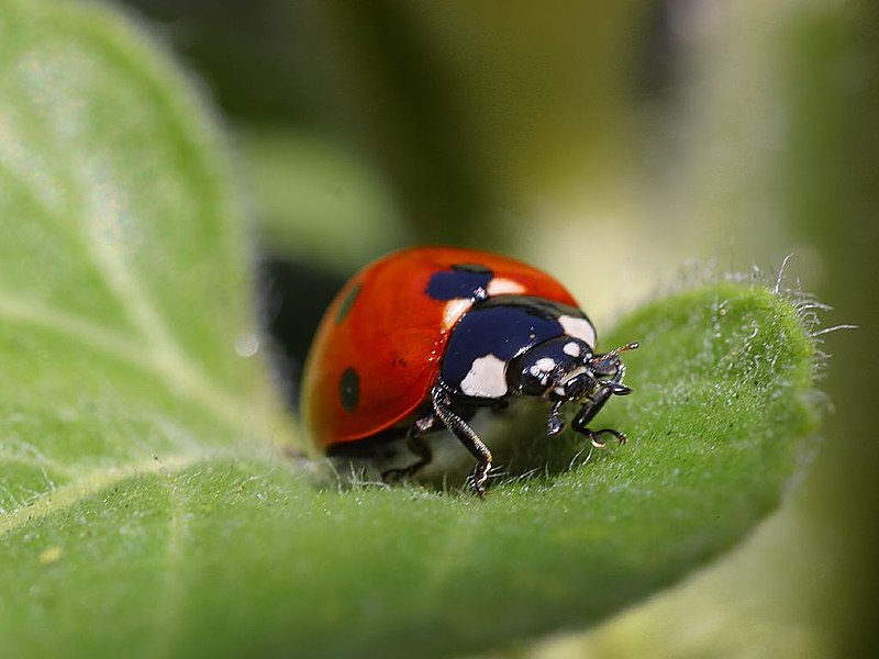 File:Ladybug.jpg