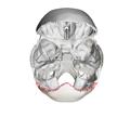 Lambdoid border of occipital bone05.png