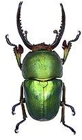 Lamprima adolphinae Gestro, 1875 male (2944307421).jpg