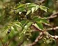 Lannea coromandelica (Wodier Tree) fruits in Hyderabd W IMG 7568.jpg