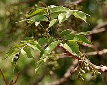 220px-Lannea_coromandelica_%28Wodier_Tree%29_fruits_in_Hyderabd_W_IMG_7568.jpg