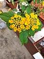 Lantana camara flower.jpg