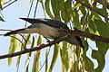 Large Cuckooshrike (Coracina macei) W IMG 4396.jpg