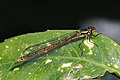 Large red damselfly (Pyrrhosoma nymphula) female fulvipes 2.jpg