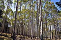 Large stand of aspen on San Francisco Peaks (3972226134).jpg