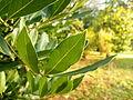Laurus nobilis (4).JPG