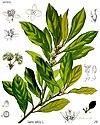 Laurus nobilis - Köhler–s Medizinal-Pflanzen-086.jpg