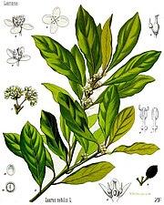 Laurus nobilis - Köhler–s Medizinal-Pflanzen-086