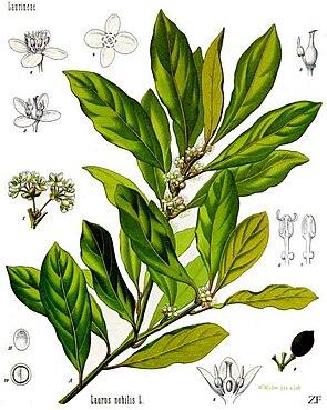 Pflanzenteile des Echten Lorbeers (Laurus nobilis)
