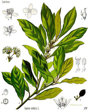 Echter Lorbeer (Laurus nobilis), Illustration
