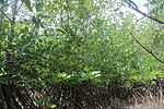 Lebak Mangrove 02.JPG