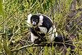 Lemur (27618733628).jpg