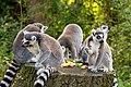 Lemur (36475989224).jpg