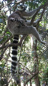 A female ring-tailed lemur sits in a tree while nursing her infant