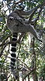 Lemur catta - nursing 01.jpg
