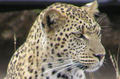 Leopard.PNG