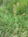 Lepidium perfoliatum sl14.jpg