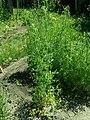 Lepidium sativum 2019-06-03 4529.jpg