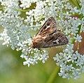 Lepidoptera (23286532761).jpg