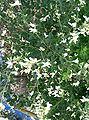 Lespedeza japonica2.jpg