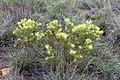 Leucadendron sp. (Proteaceae) (4575533373).jpg