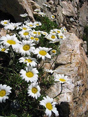 Leucanthemopsis - Leucanthemopsis alpina