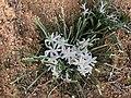 Leucocrinum montanum at Rocky Mountain Arsenal National Wildlife Refuge.jpg