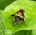 Leucozona lucorum - Flickr - gailhampshire (2).jpg